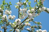 Obstblütenhonig
